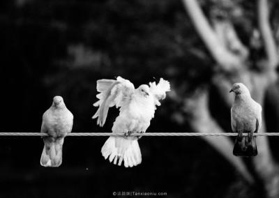 Pigeons in Kathmandu-2